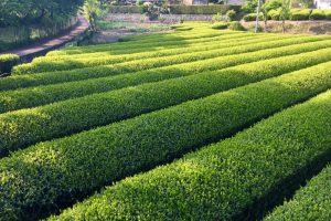 八十八夜の茶畑