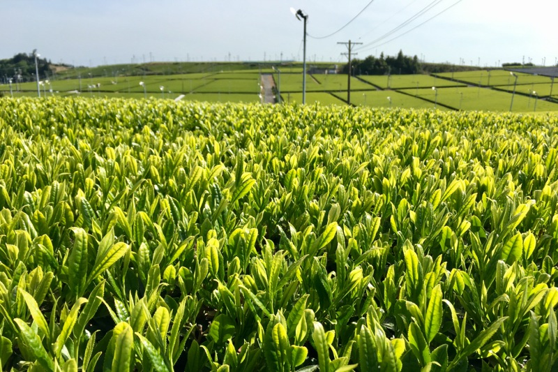 牧之原の新茶の茶畑アップ