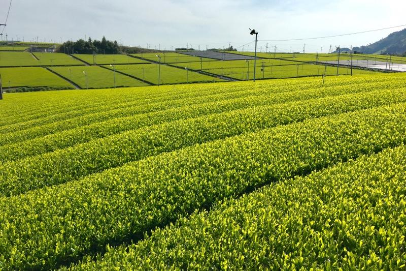 静岡牧之原に広がる新茶の茶畑