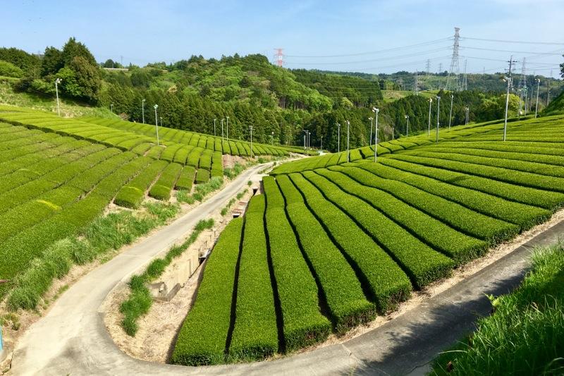 牧之原の広大な茶畑 その4